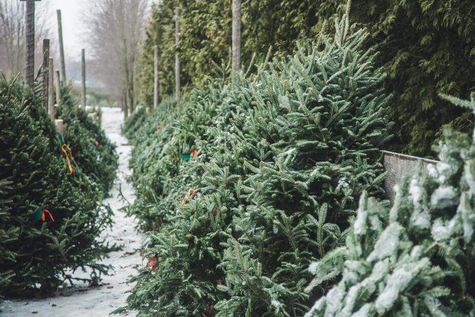 Real Christmas Trees For Sale in the Snow